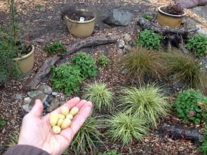 Edible rain garden: Fresh alpine